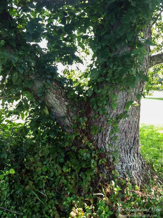 YIKES! Poison ivy vines in black cherry tree