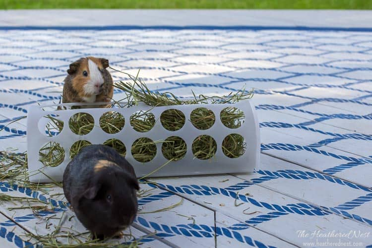 This popular $2 Ikea plastic bag holder can be used in so many ways for pets! Use it as a tunnel, ramp, or hay feeder for guinea pigs or rabbits! Only a $2 Ikea hack from the Variera line.