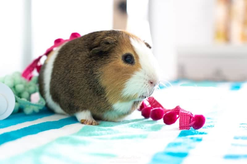 guinea pig with pom pom trim. our little crafting helper for this easy beach hat craft