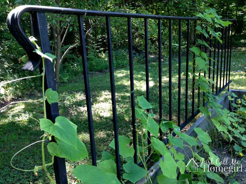 A metal interior stair railing is repurposed to create the perfect vertical climbing structure for a veggie garden