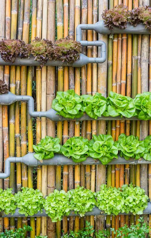 A more complex DIY vertical garden created with conduit pipe and attached to a bamboo fence. This one planted with veggies to include various types of lettuce.